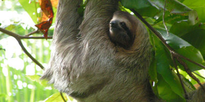 400x300-osa-conservation-area-sloth
