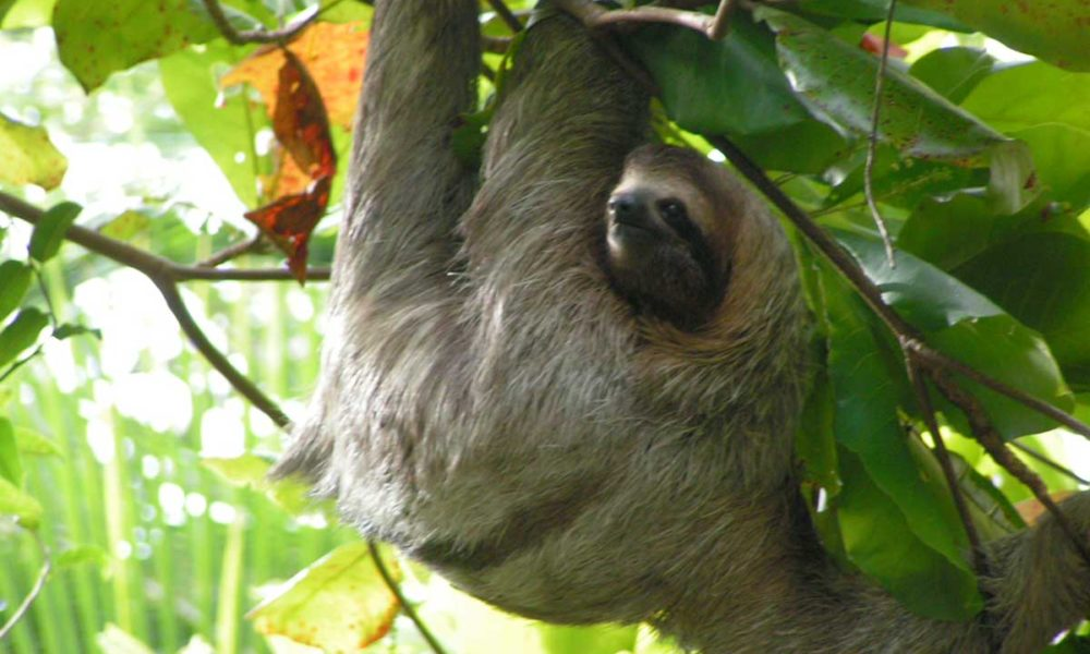 costa-rica-panama-gallery-sloths