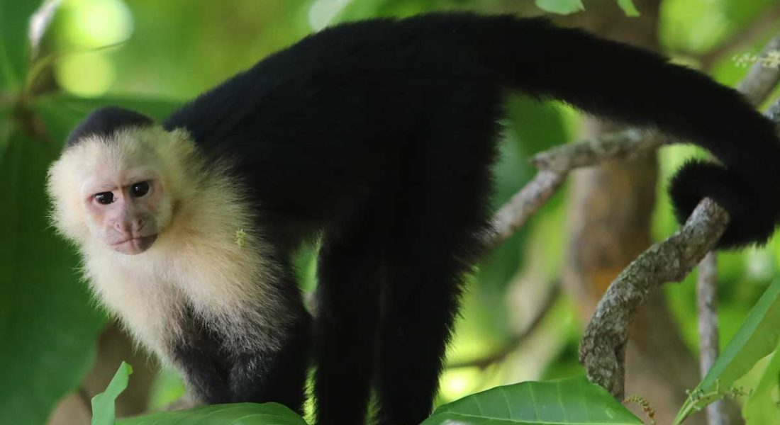 costa-rica-panama-gallery-white-faced-capuchin_JPride